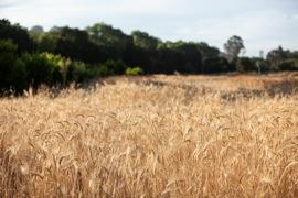 Grain Manifesto - SHED