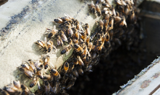 HoneyBees at SHED