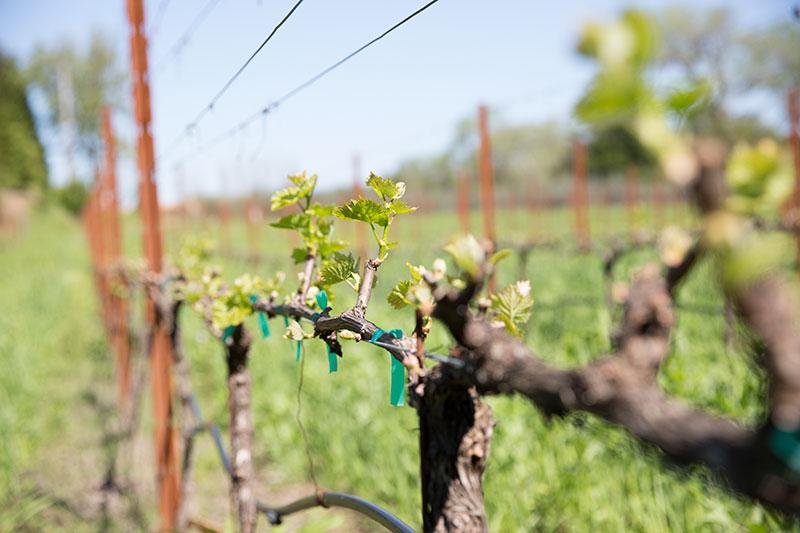 Vineyards at SHED - Wine Making