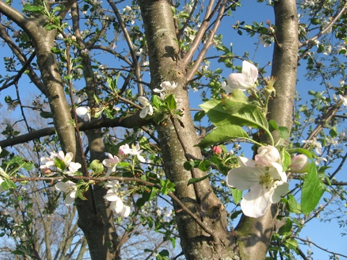 apple-blossoms-21