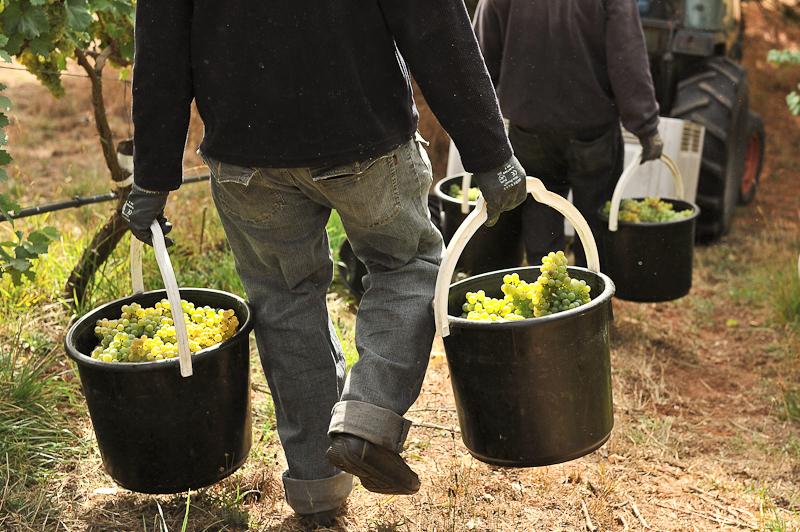 Hand_harvested_Gruner_Veltliner_grapes_at_the_biodynamic_vineyard_of_Hahndorf_Hill