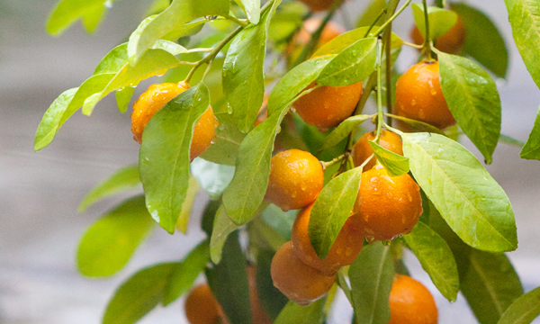 protecting citrus trees from frost